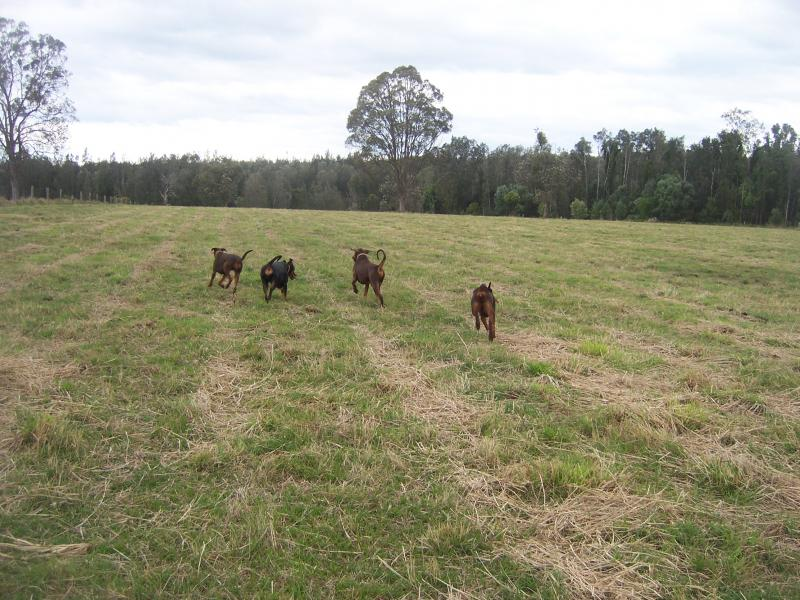 some of my dogs Coraki farm